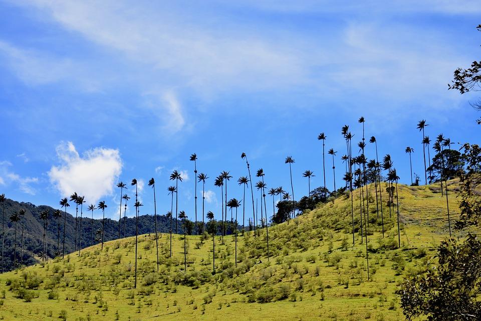 colombias national træ cera-palme