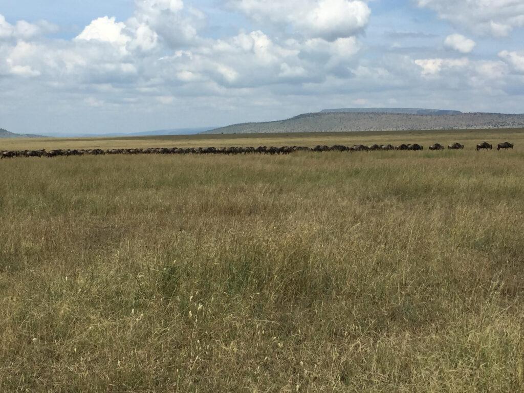 Gnuer i Serengeti